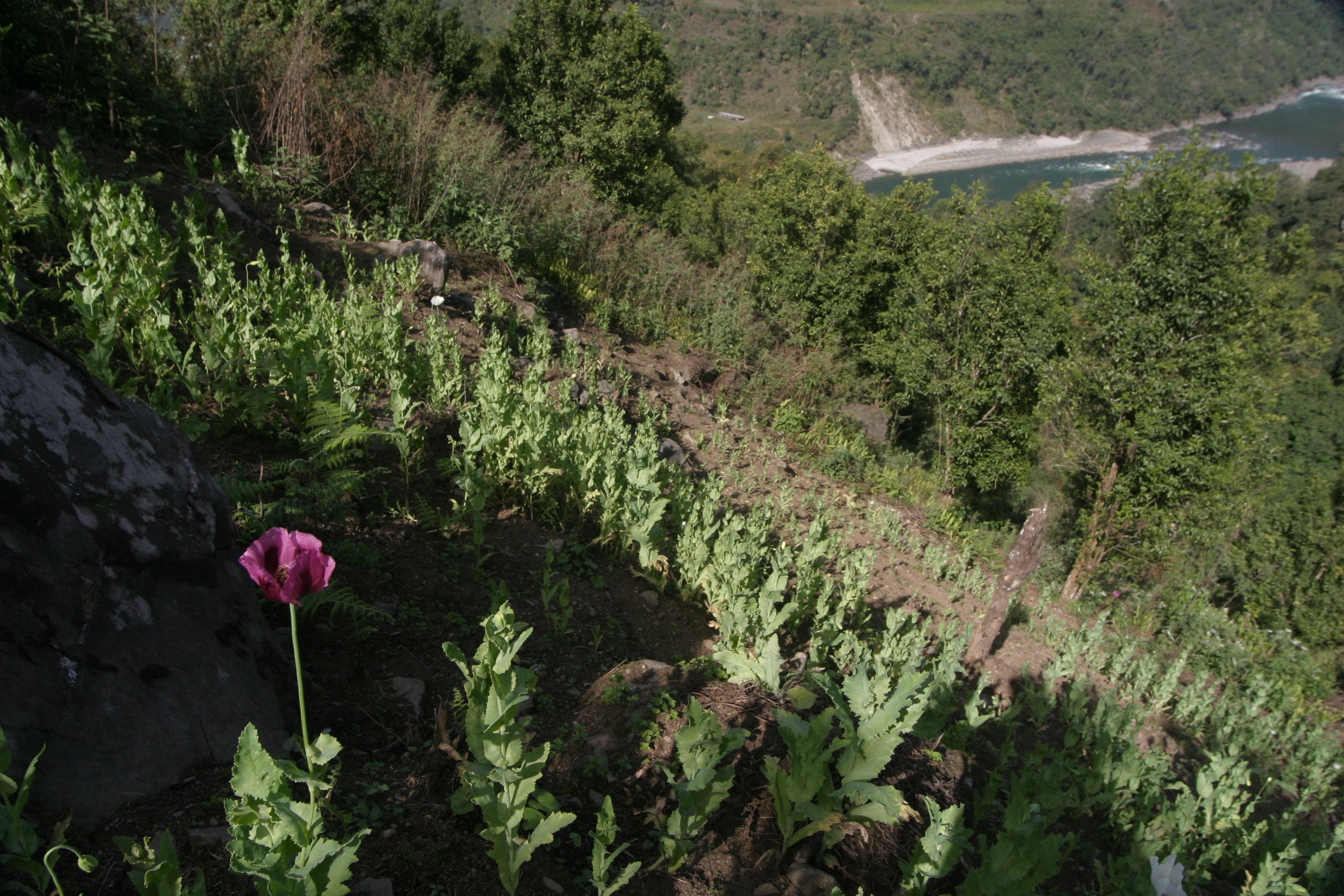 poor man's opium field on a steep hill side (photo: Romesh Bhattacharji)